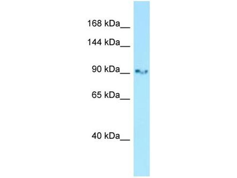 Western Blotting (WB) image for anti-Glutamate Receptor, Ionotrophic, AMPA 3 (GRIA3) (Middle Region) antibody (ABIN2776119)