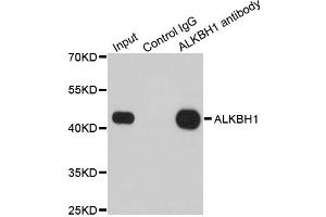 Image no. 2 for anti-AlkB, Alkylation Repair Homolog 1 (E. Coli) (ALKBH) antibody (ABIN6570304)