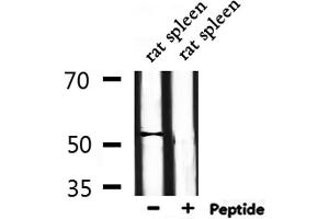 Image no. 2 for anti-Dual Specificity Phosphatase 10 (DUSP10) antibody (ABIN6257139)