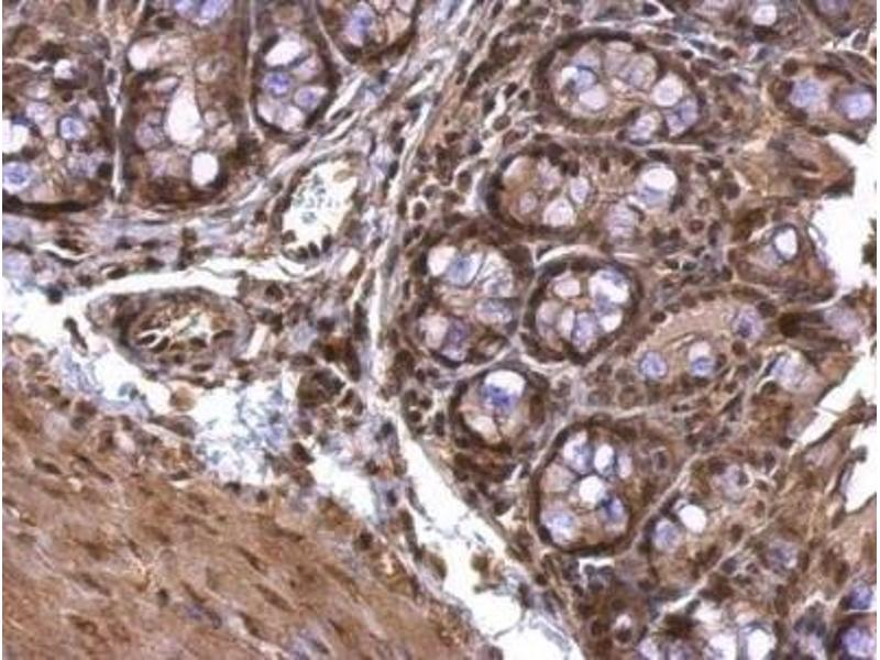 Immunohistochemistry (Paraffin-embedded Sections) (IHC (p)) image for anti-Acetylcholinesterase (AChE) (C-Term) antibody (ABIN441336)