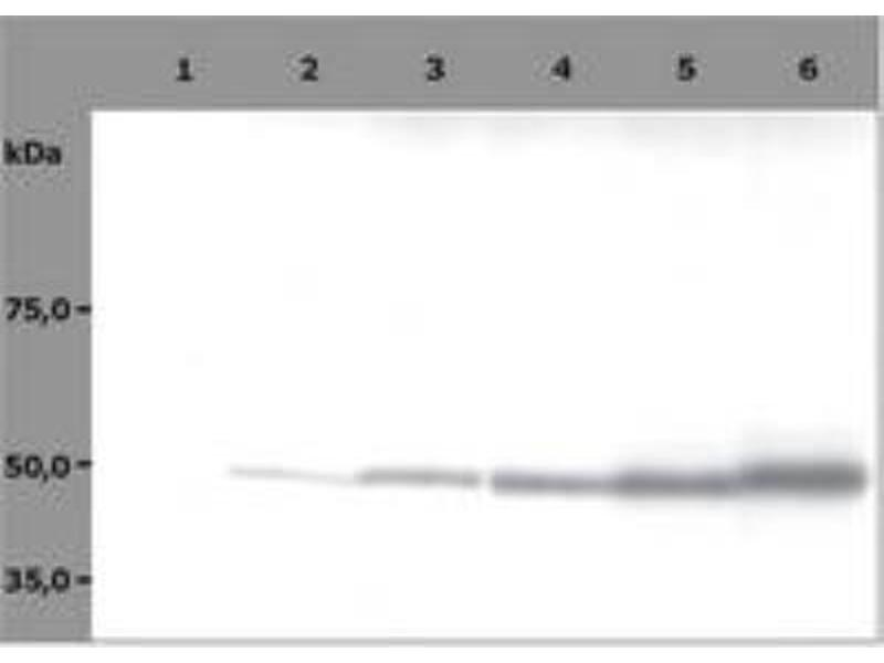 Western Blotting (WB) image for anti-TUBB antibody (Tubulin, beta) (AA 81-95) (ABIN267968)