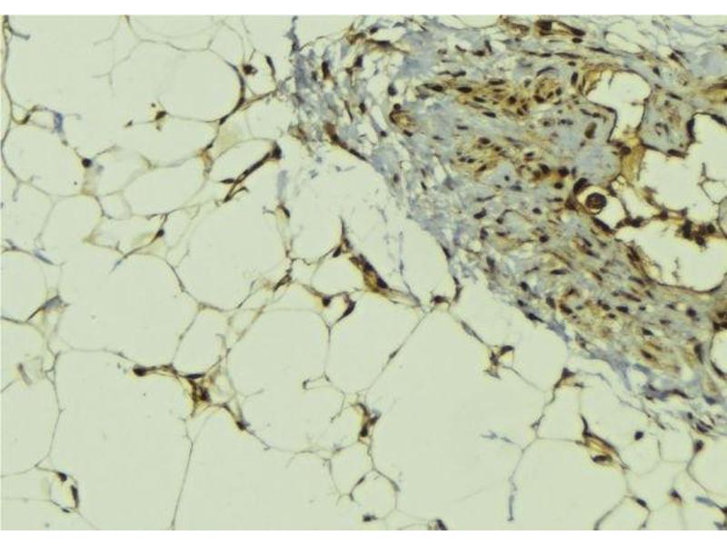 Image no. 2 for anti-MAP3K12-Binding Inhibitory Protein 1 (MBIP) antibody (ABIN6263150)