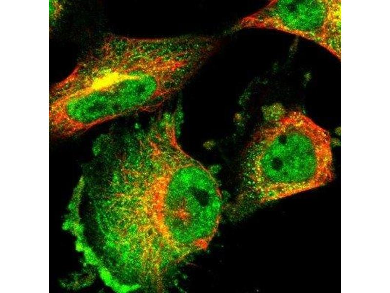 Immunofluorescence (IF) image for anti-RNA Binding Motif Protein 33 (RBM33) antibody (ABIN4349613)