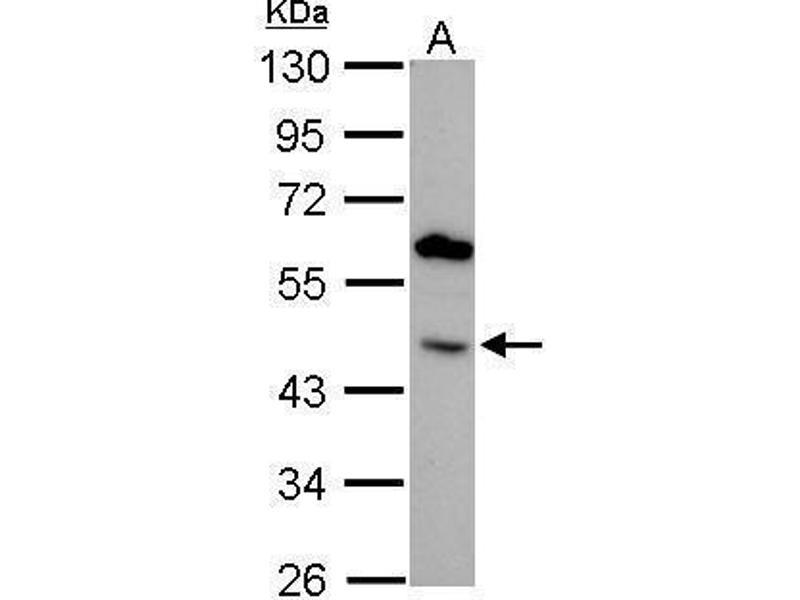 Western Blotting (WB) image for anti-Bone Morphogenetic Protein 4 (BMP4) (Center) antibody (ABIN2854883)