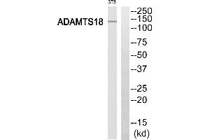 Image no. 1 for anti-ADAM Metallopeptidase with thrombospondin Type 1 Motif, 18 (ADAMTS18) (Internal Region) antibody (ABIN1574466)