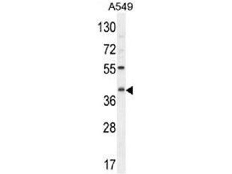 Western Blotting (WB) image for anti-C5AR1 antibody (Complement Component 5a Receptor 1) (AA 178-205) (ABIN951423)