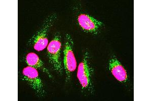 Immunofluorescence (IF) image for anti-Lamin A/C (LMNA) antibody (ABIN1580428)