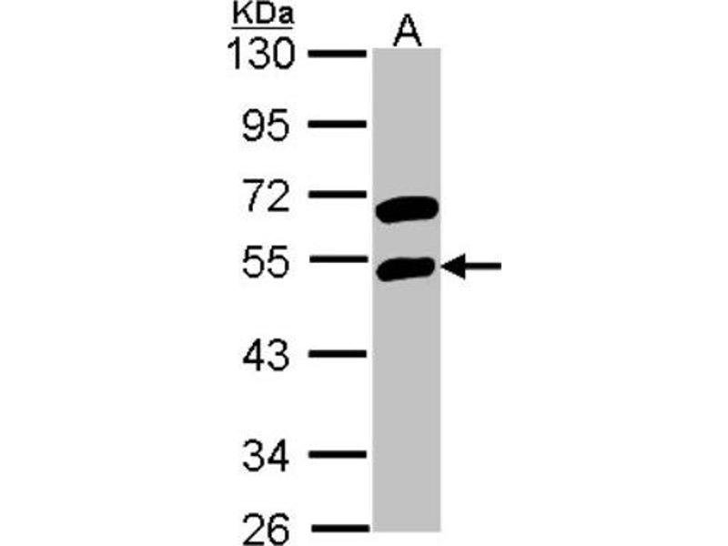 Western Blotting (WB) image for anti-RNA Binding Motif, Single Stranded Interacting Protein 1 (RBMS1) (Center) antibody (ABIN4349647)