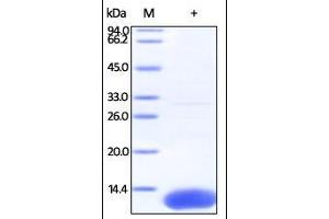 Image no. 1 for S100 Calcium Binding Protein A10 (S100A10) (AA 1-97) protein (His tag) (ABIN2181711)