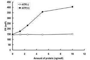 Image no. 2 for Mitogen-Activated Protein Kinase 12 (MAPK12) (AA 1-367) protein (GST tag) (ABIN5569633)