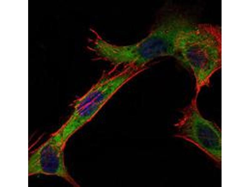 Immunofluorescence (IF) image for anti-Hexokinase 1 antibody (HK1) (ABIN1107523)