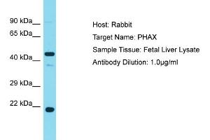Image no. 1 for anti-phosphorylated Adaptor For RNA Export (PHAX) (Middle Region) antibody (ABIN2790159)