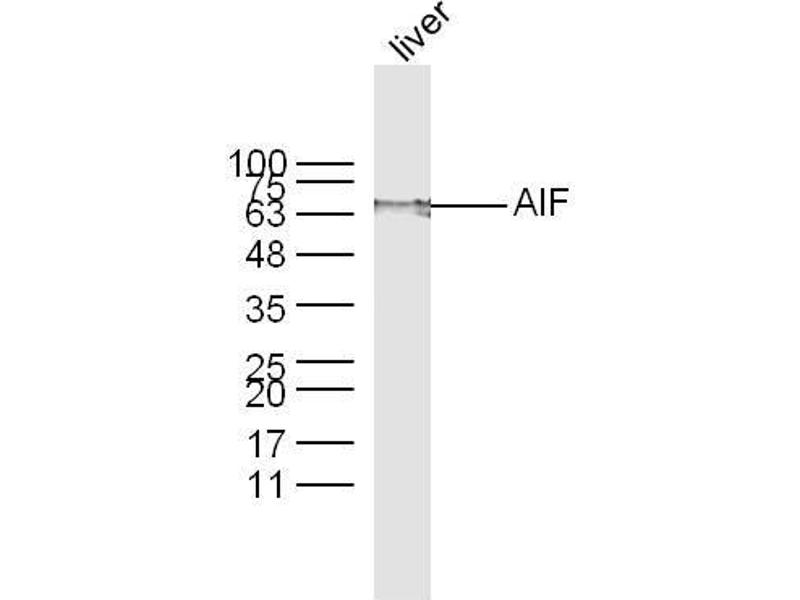 Western Blotting (WB) image for anti-AIFM1 antibody (Apoptosis-Inducing Factor, Mitochondrion-Associated, 1) (AA 130-180) (ABIN724010)