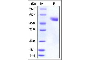 Image no. 1 for Cytotoxic T-Lymphocyte-Associated Protein 4 (CTLA4) (AA 36-162) (Active) protein (Fc Tag) (ABIN2870731)