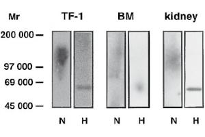 Image no. 2 for anti-Glypican 4 (GPC4) (AA 509-520) antibody (ABIN870841)