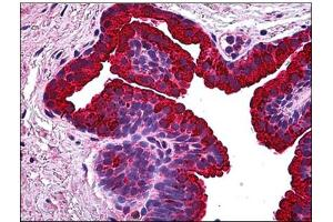 Image no. 1 for anti-Breast Carcinoma Amplified Sequence 1 (BCAS1) antibody (ABIN781894)
