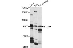 Image no. 1 for anti-Solute Carrier Family 5 (Sodium/glucose Cotransporter), Member 9 (SLC5A9) antibody (ABIN6292281)