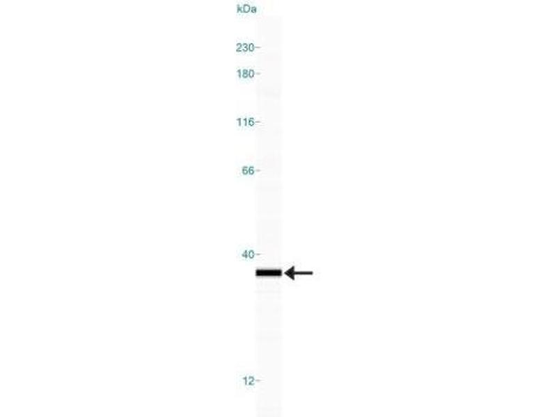 Simple Western (SimWes) image for anti-HMGB1 antibody (High-Mobility Group Box 1) (ABIN4319335)