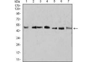 Image no. 1 for anti-Kruppel-Like Factor 2 (Lung) (KLF2) (AA 251-355) antibody (ABIN5907449)