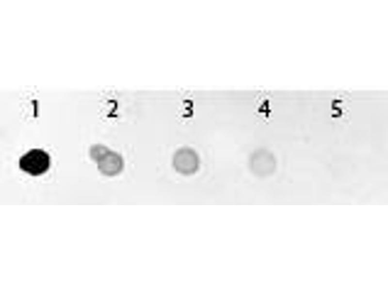 Image no. 1 for anti-Green Fluorescent Protein (GFP) (AA 246) antibody (Alkaline Phosphatase (AP)) (ABIN100086)