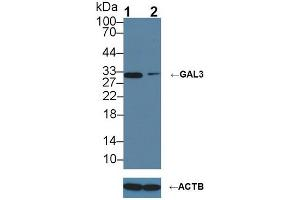 Image no. 1 for anti-Lectin, Galactoside-Binding, Soluble, 3 (LGALS3) (AA 2-264) antibody (ABIN1078056)