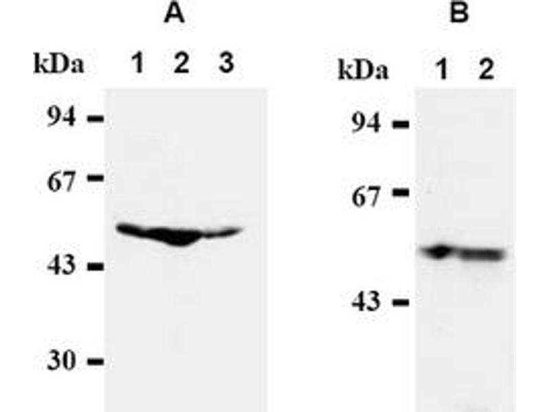 Western Blotting (WB) image for anti-Transcription Factor Dp-1 (TFDP1) antibody (ABIN487311)