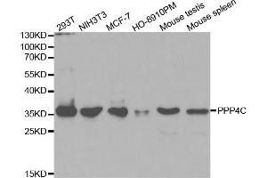 Image no. 4 for anti-Protein Phosphatase 4, Catalytic Subunit (PPP4C) antibody (ABIN6569111)