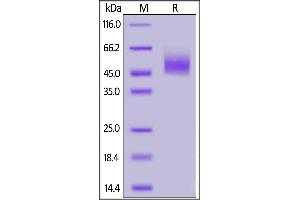 Image no. 1 for Cytotoxic and Regulatory T Cell Molecule (CRTAM) (AA 18-287) protein (His tag) (ABIN6938854)