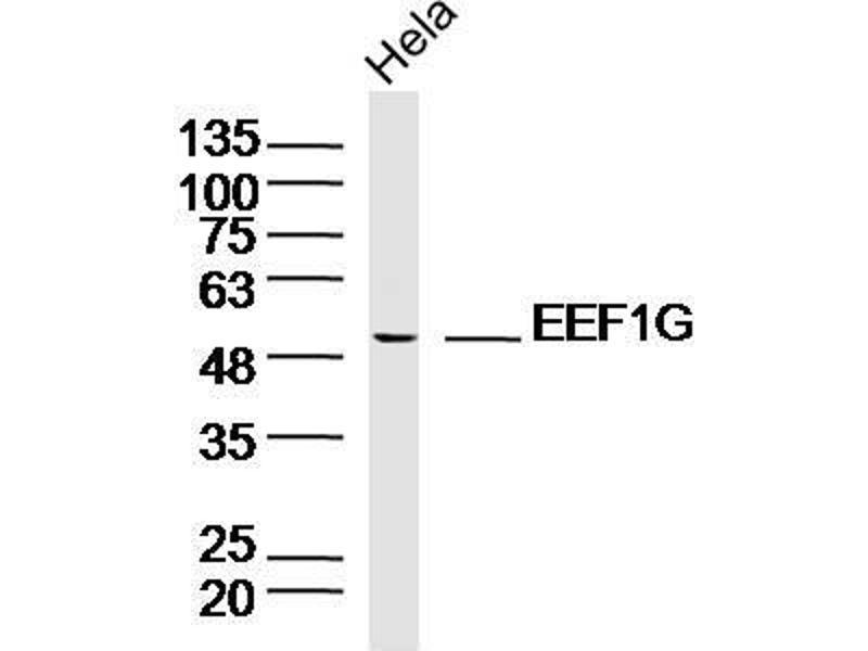 Western Blotting (WB) image for anti-Eukaryotic Translation Elongation Factor 1 gamma (EEF1G) antibody (ABIN1714736)