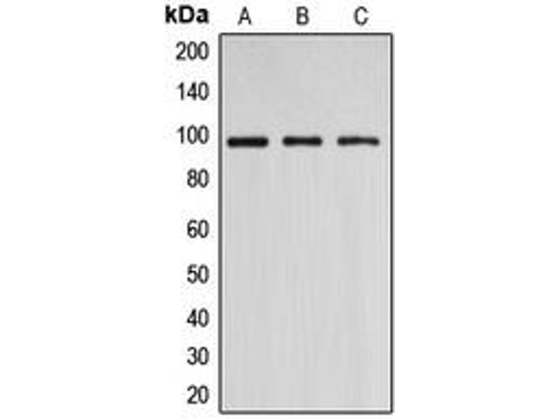 Image no. 1 for anti-DNA (Cytosine-5-)-Methyltransferase 3 beta (DNMT3B) (N-Term) antibody (ABIN2707482)