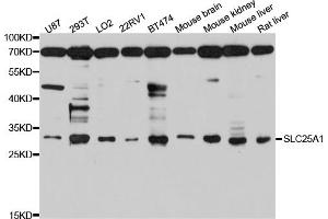 Image no. 1 for anti-Solute Carrier Family 25 (Mitochondrial Carrier, Citrate Transporter), Member 1 (Slc25a1) antibody (ABIN6566831)