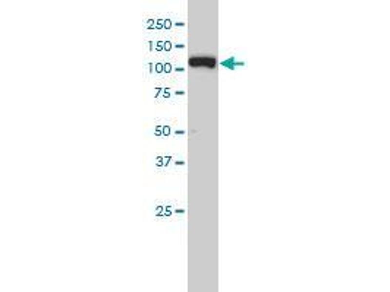 Immunohistochemistry (IHC) image for anti-Exportin 5 (XPO5) (AA 1-281) antibody (ABIN395442)