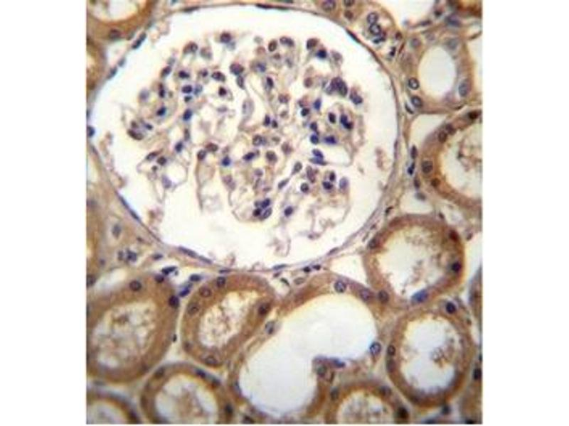 Immunohistochemistry (Paraffin-embedded Sections) (IHC (p)) image for anti-C-Type Lectin Domain Family 18, Member A (CLEC18A) (AA 345-375), (C-Term) antibody (ABIN951563)