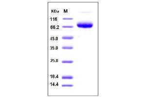 Image no. 1 for CD274 Molecule (CD274) (AA 1-238), (Extracellular Domain) (Active) protein (Fc Tag,His tag) (ABIN2007139)