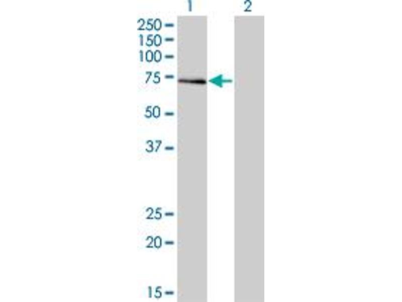 Image no. 1 for anti-General Transcription Factor IIA, 1-Like (GTF2A1L) (AA 251-348) antibody (ABIN564784)