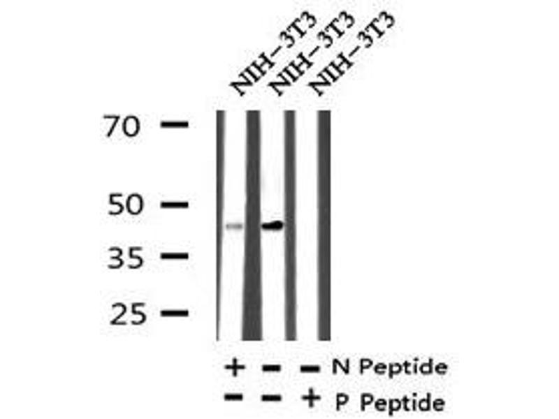 Western Blotting (WB) image for anti-Mitogen-Activated Protein Kinase Kinase 1 (MAP2K1) (pThr386) antibody (ABIN6270106)