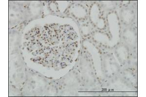 Image no. 1 for anti-cAMP Responsive Element Binding Protein 1 (CREB1) (AA 1-342) antibody (ABIN782354)