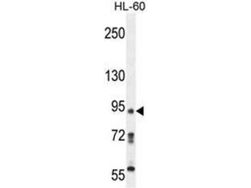 Western Blotting (WB) image for anti-KRI1 antibody (KRI1 Homolog (S. Cerevisiae)) (N-Term) (ABIN953115)