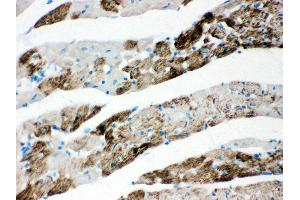 Image no. 2 for anti-Apoptosis-Inducing Factor, Mitochondrion-Associated, 1 (AIFM1) (AA 582-613), (C-Term) antibody (ABIN3043779)