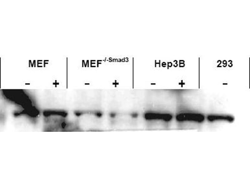 image for anti-SMAD3 antibody (SMAD, Mothers Against DPP Homolog 3) (AA 417-425) (ABIN401333)