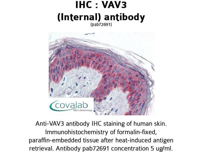 image for anti-Vav 3 Oncogene (VAV3) (Internal Region) antibody (ABIN1740680)