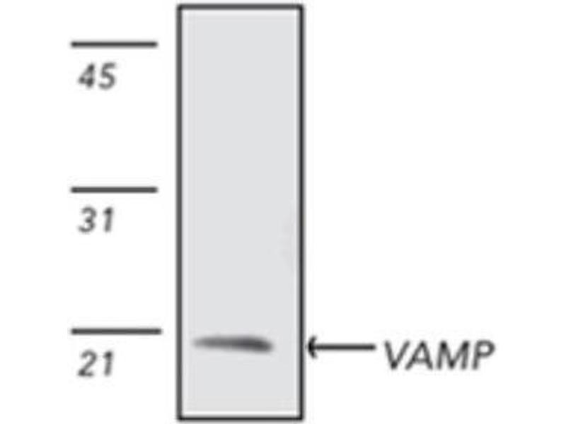 Western Blotting (WB) image for anti-Vesicle-Associated Membrane Protein 2 (Synaptobrevin 2) (VAMP2) antibody (ABIN446693)