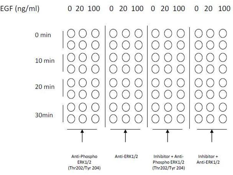 image for Mitogen-Activated Protein Kinase 1/3 (MAPK1/3) ELISA Kit (ABIN1981830)