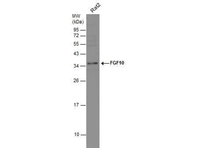 Western Blotting (WB) image for anti-FGF10 antibody (Fibroblast Growth Factor 10) (Center) (ABIN2854900)