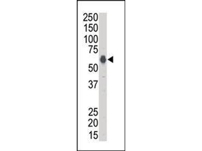 Western Blotting (WB) image for anti-Kinase Suppressor of Ras 1 (KSR1) (AA 1-30), (N-Term) antibody (ABIN392257)