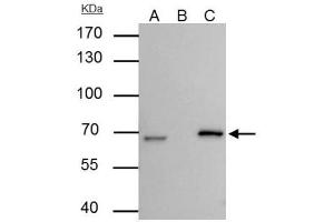 Immunoprecipitation (IP) image for anti-Lamin B2 (LMNB2) (Center) antibody (ABIN443145)