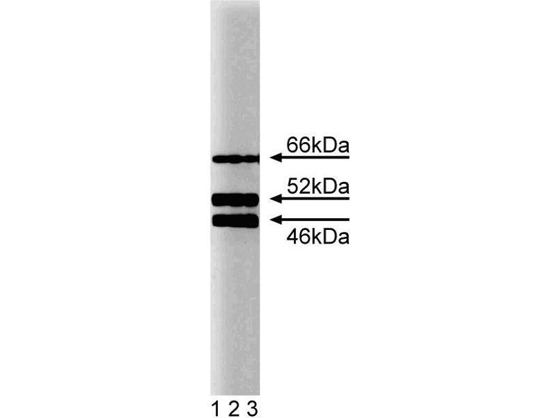 Western Blotting (WB) image for anti-SHC1 antibody (SHC (Src Homology 2 Domain Containing) Transforming Protein 1) (AA 359-473) (ABIN968228)