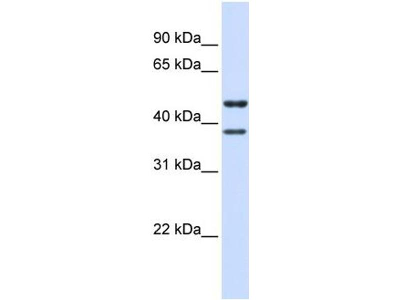 Western Blotting (WB) image for anti-Transmembrane Protein 135 (TMEM135) (N-Term) antibody (ABIN503077)