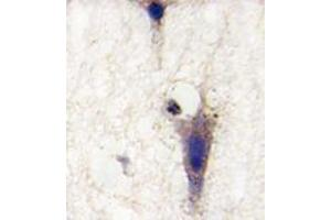 Image no. 1 for anti-Leucine Rich Repeat and Ig Domain Containing 1 (LINGO1) (N-Term) antibody (ABIN4620559)
