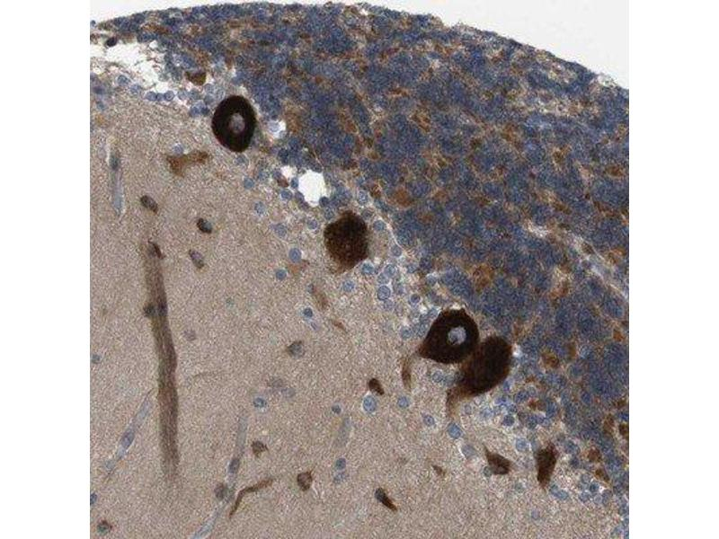 Immunohistochemistry (Paraffin-embedded Sections) (IHC (p)) image for anti-Gap Junction Protein, gamma 3, 30.2kDa (GJc3) antibody (ABIN4314210)